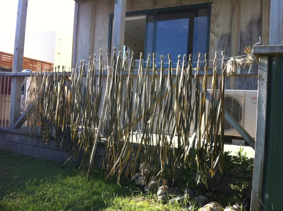 Flax/harakeke boiled and drying . . . still to be dyed and woven into . . . who knows what?
