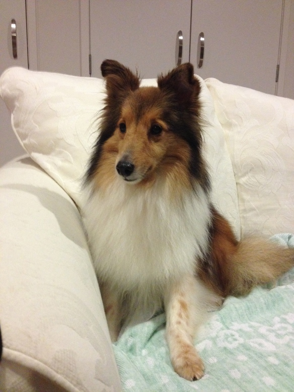 Rosie: my new, shy, little sheltie who has perfect manners.